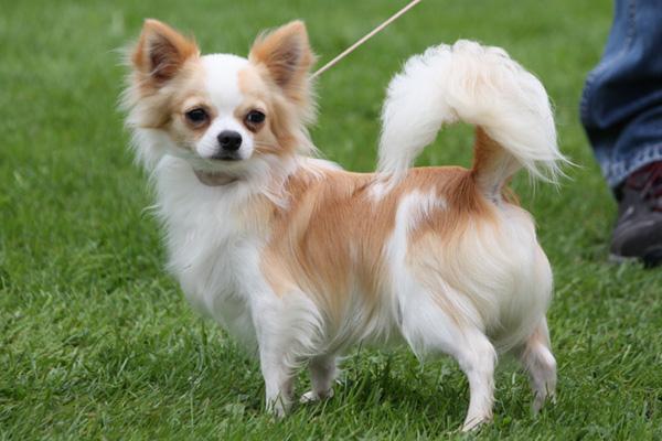 De 20 mest populære hunderacer i Sverige