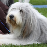 Raceportræt: Bearded collie