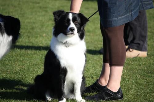 Populære hunderacer i 2015, placering 11 – 25