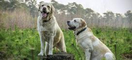 De mest populære hunderacer i 2016