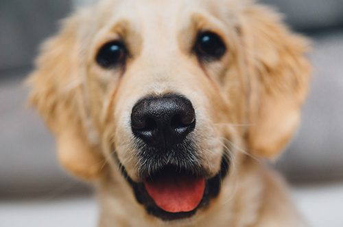Hunde er gode menneskekendere