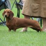 Korthåret gravhund