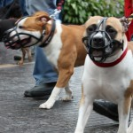 to american staffordshire terrier med mundkurv