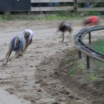 Whippets til hundevæddeløb