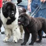 new foundlændere til hundens dag i tivoli