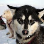 Grønlandske slædehunde