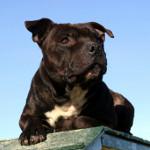 Staffordshire bull terrier, en af racerne på observationslisten