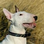 Engelsk Bull Terrier, Lulu