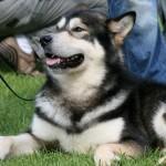 DKK hundeudstilling i Vejen