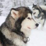 Hundeslædekørsel i Danmark