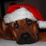 Aslan - vinder af julehund fotokonkurrencen