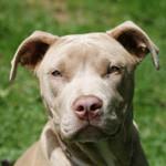 Pittbull Terrier er forbudt i Danmark