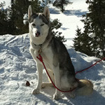 iditarodløbet i Alaska er verdens hårdeste hundeslædeløb