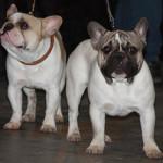 Fransk bulldog er en populær race
