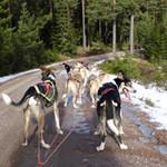 Hundeslædetur i Sverige