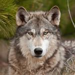 Tilladt at skyde ulve i Norge