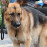 Shæferhund og velgørenhed
