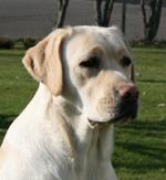 Raceportræt: Labrador Retriever