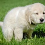 hunde påvirkes af magnetisme