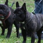 franske bulldogs