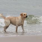 hunde og strand