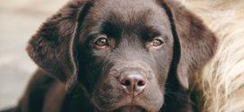 Labrador retriever mest populære race i USA for 28. år i streg